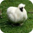 White_chicken
